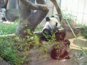 панда венский зоопарк в вене шенбрунн
