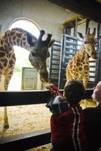 london-zoo кормление жирафов в Лондонском зоопарке