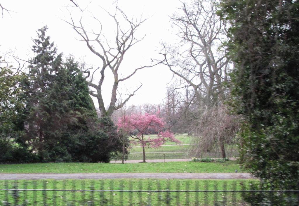 фото сакуры, Лондон, гайд-парк