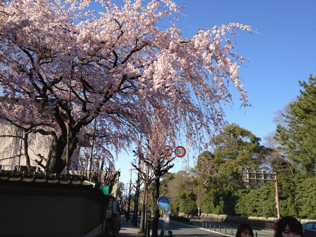 Киото, фото сакуры на улицах города
