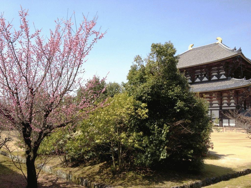 сакура возле замка Нидзе-дзе Киото фото