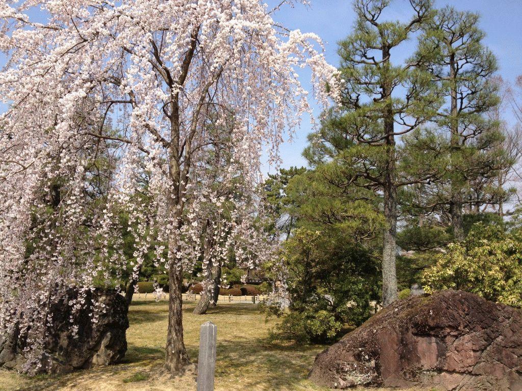 сакура фото япония
