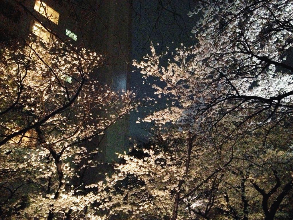 Вечером деревья сакуры фото