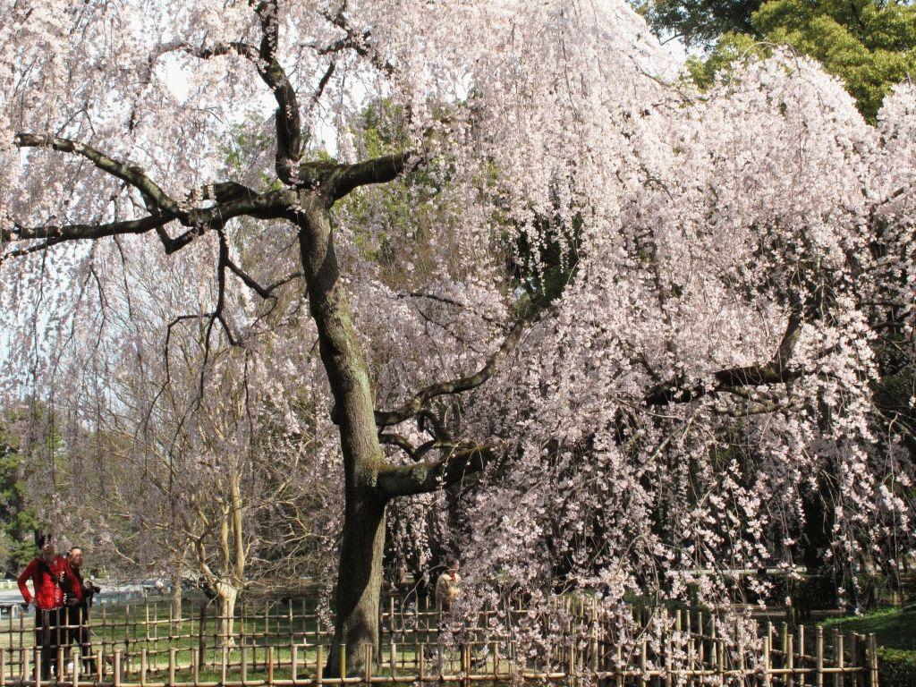 Сакура - фото цветущей сакуры в Японии весной