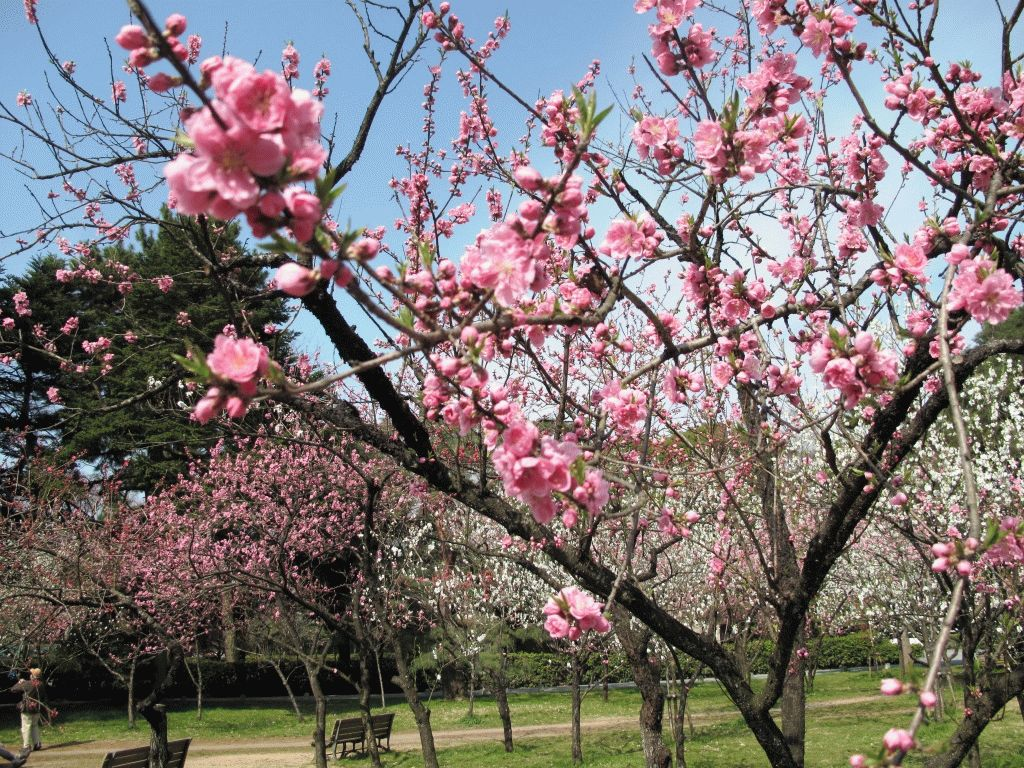 дерево сакура фото япония