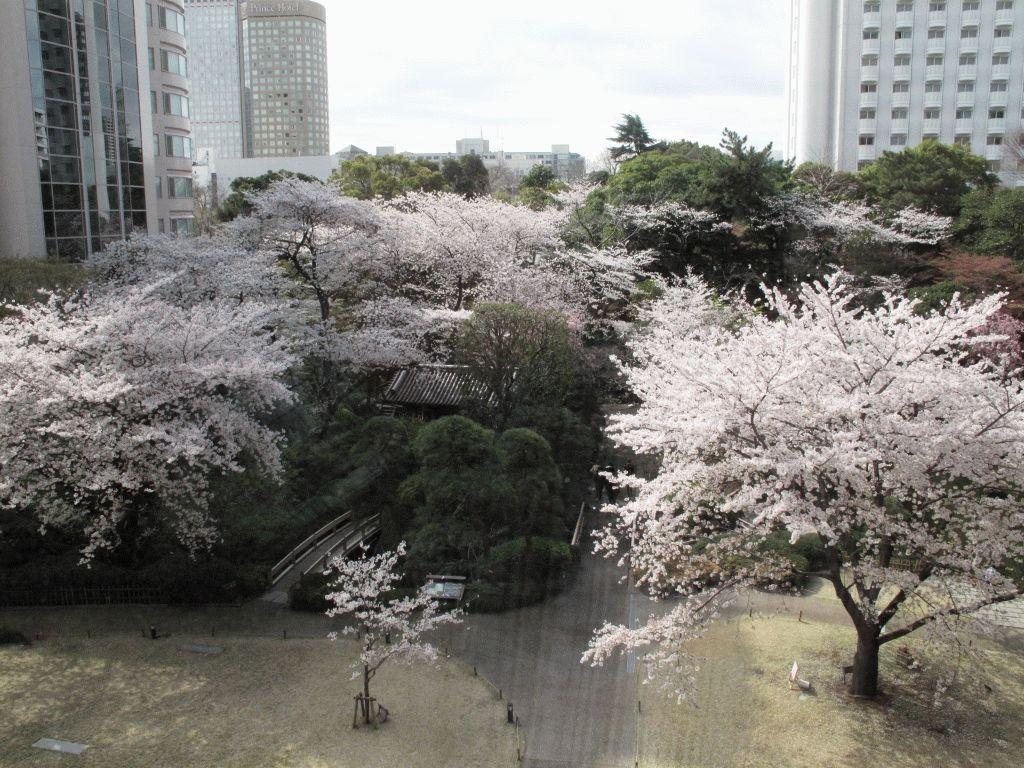 Takanawa Prince Hotel фото из окна номера на японский сад и сакуру