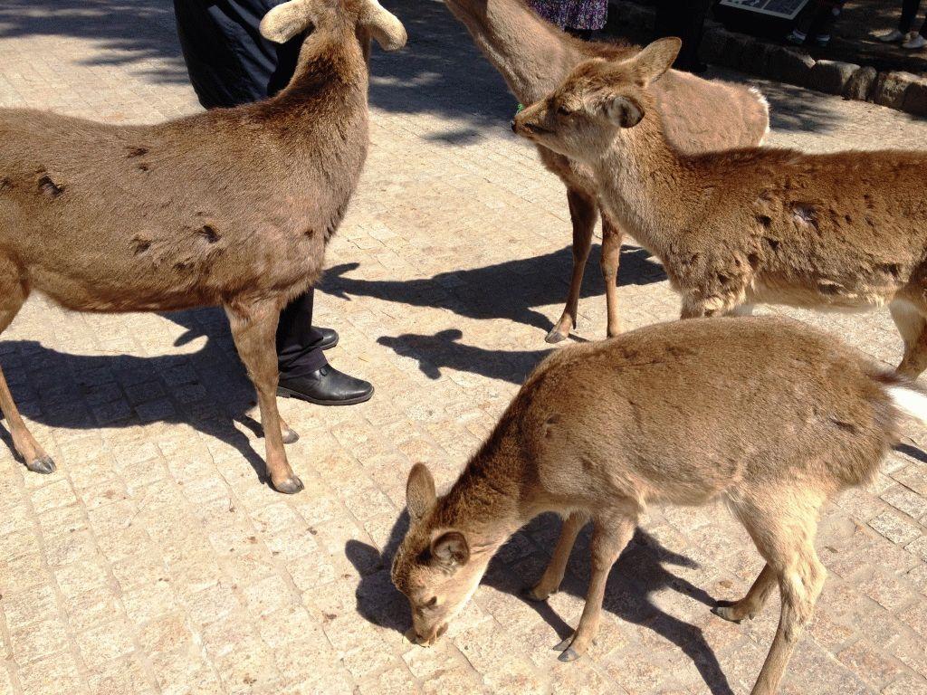 Олени в Наре, Япония фото