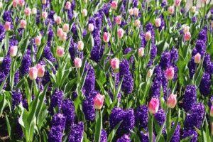 цветы в парке кекенхоф голландия фото