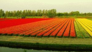 поля тюльпанов голландия фото