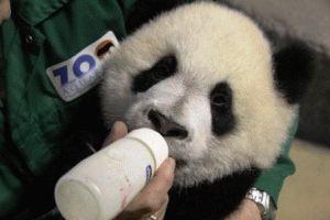 зоопарк Мадрид панда фото
