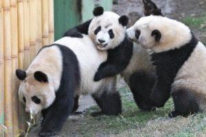 зоопарк мадрид панды фото