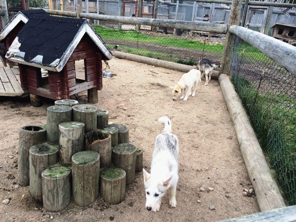 щенки хаски финляндия питомник фото