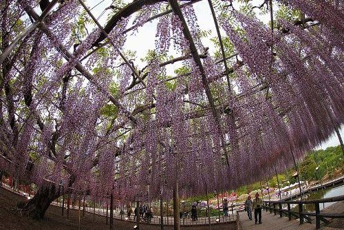 парк цветов Асикага Япония фото