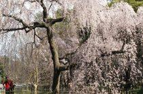 Сакура — фото цветущей сакуры в Японии весной