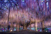 Парк цветов Асикага (Япония) – глицинии и живущие среди них феи, фото парка