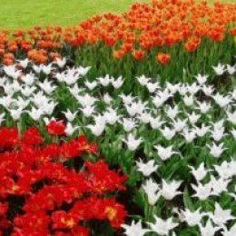 Кекенхоф (Keukenhof) – королевский парк цветов в Голландии, как добраться